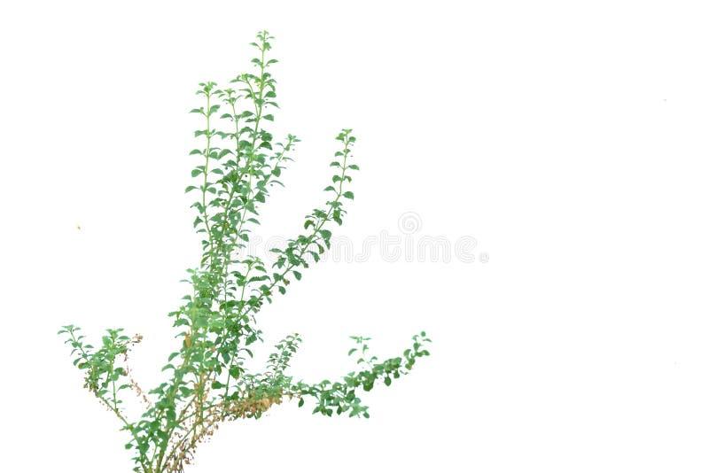 Tropikalnej rośliny dorośnięcie w ogródzie na białym odosobnionym tle dla zielonego ulistnienia tła obrazy royalty free