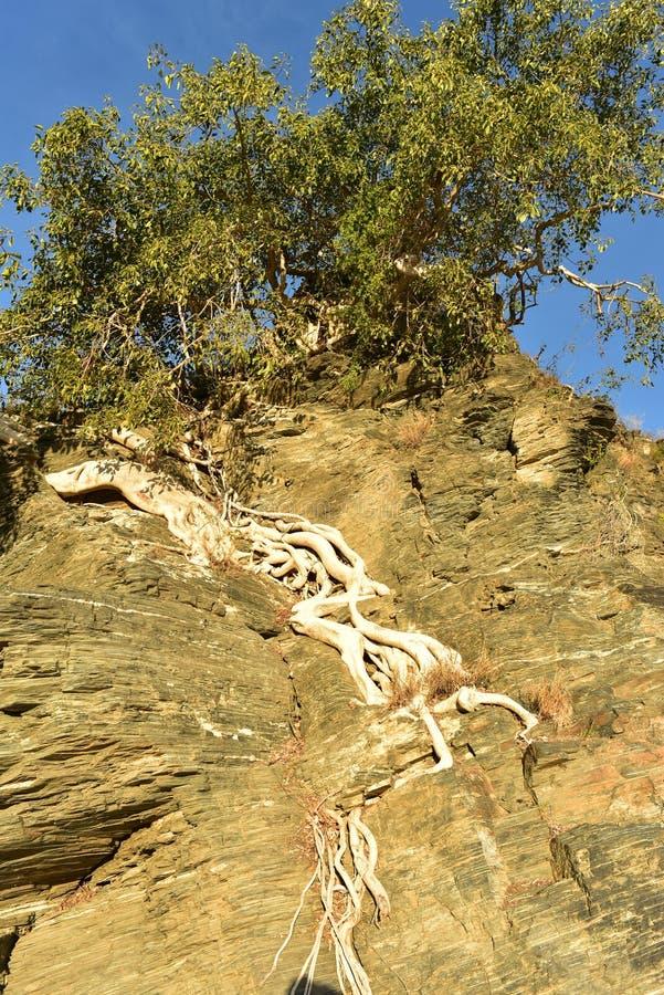 Tropikalni drzewni korzenie r na rockowej falezie Baj Kalifornia Sura, Meksyk zdjęcie royalty free