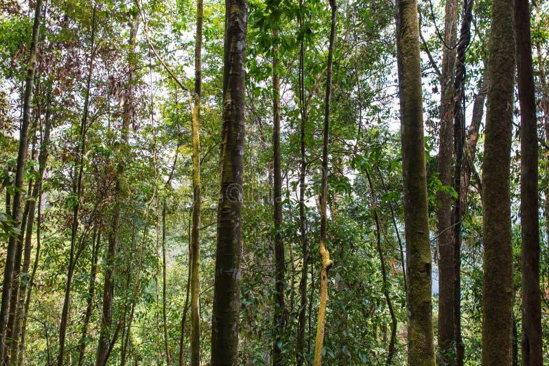 Tropikalni Lasowi drzewa fotografia royalty free