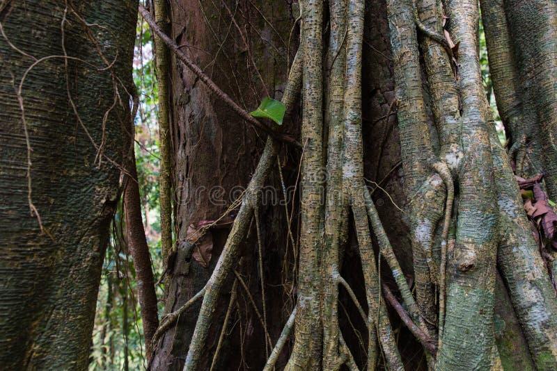 Tropikalni Lasowych drzew korzenie obrazy stock
