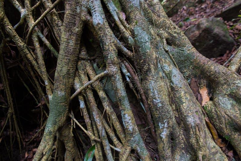 Tropikalni Lasowych drzew korzenie obrazy royalty free