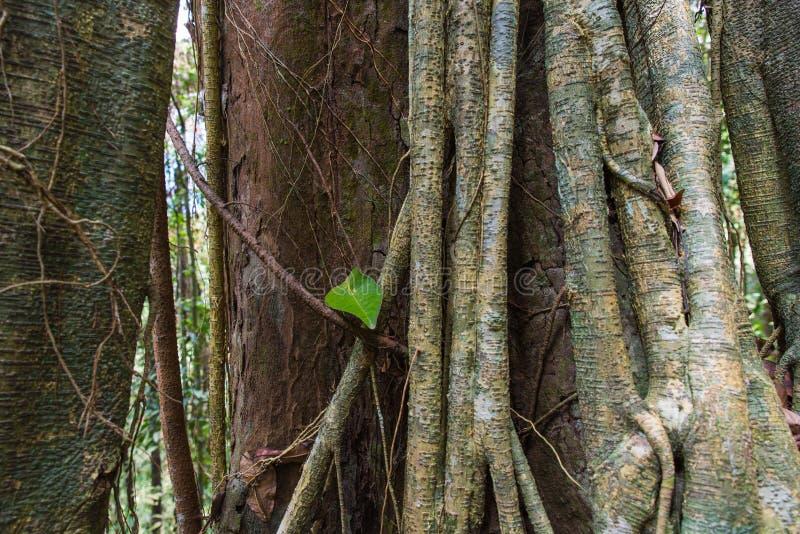 Tropikalni Lasowych drzew korzenie obraz royalty free