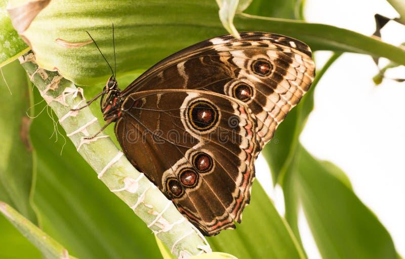 Tropikalni motyle Morpho zdjęcie stock