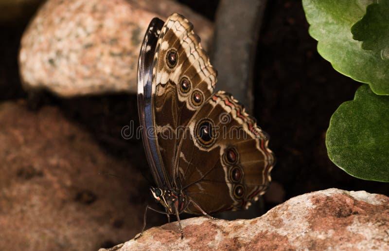 Tropikalni motyle Morpho obraz royalty free