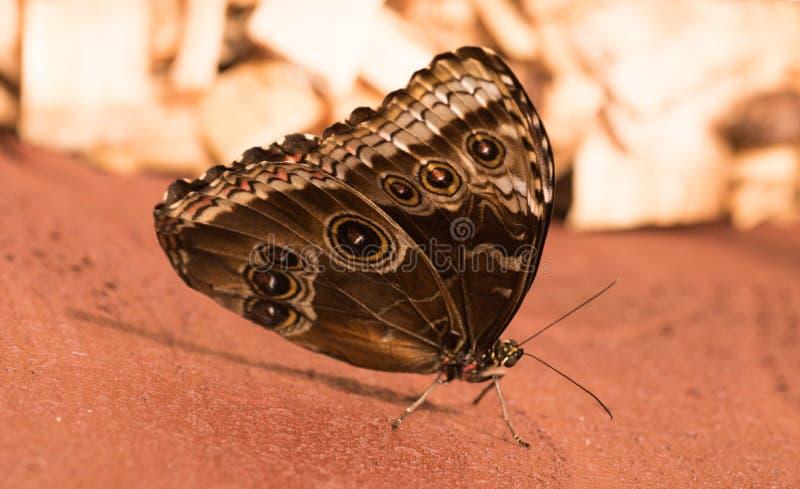 Tropikalni motyle Morpho obraz stock