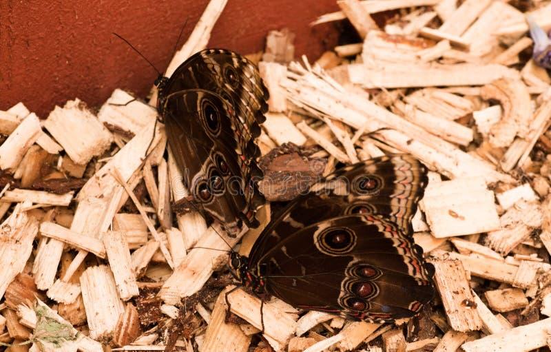 Tropikalni motyle Morpho zdjęcia stock