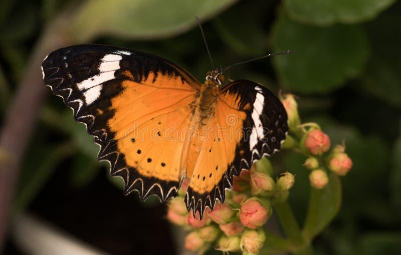 Tropikalni motyli Cethosia biblis Jaskrawy motyl z pomarańczowymi skrzydłami zdjęcia stock