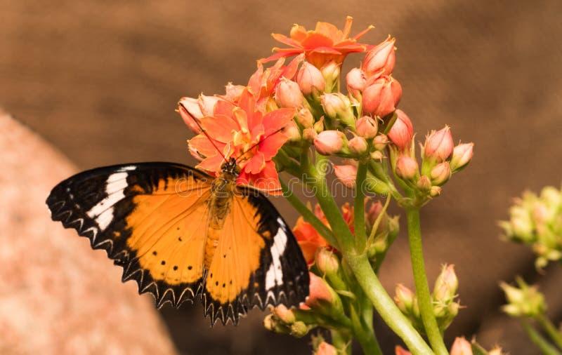 Tropikalni motyli Cethosia biblis Jaskrawy motyl z pomarańczowymi skrzydłami fotografia stock