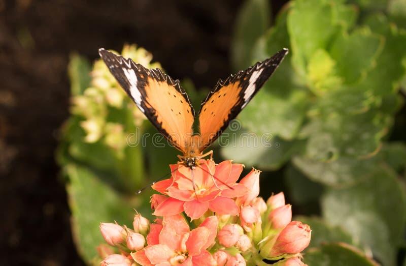 Tropikalni motyli Cethosia biblis Jaskrawy motyl z pomarańczowymi skrzydłami obrazy stock