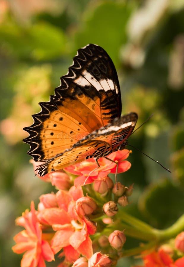 Tropikalni motyli Cethosia biblis Jaskrawy motyl z pomarańczowymi skrzydłami obraz stock