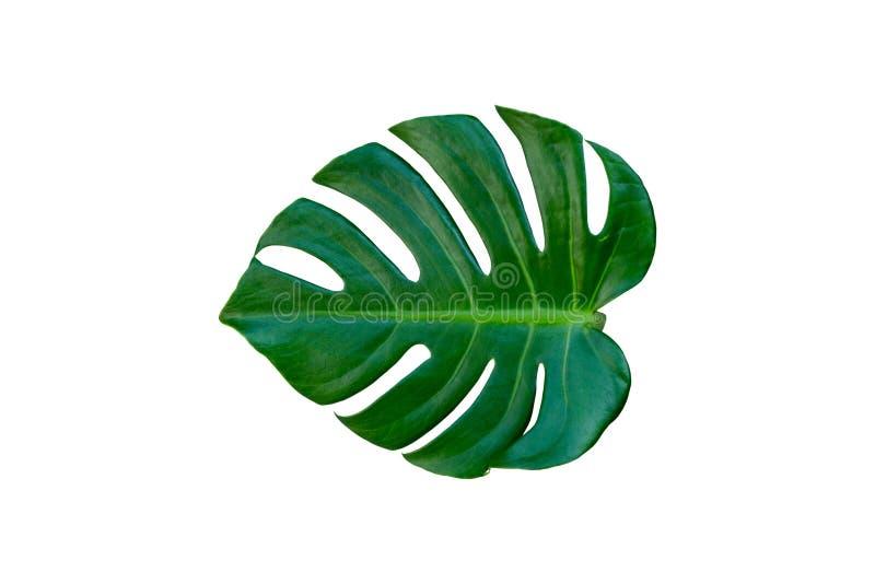 Tropikalni palma liście odizolowywający na białym tle fotografia royalty free