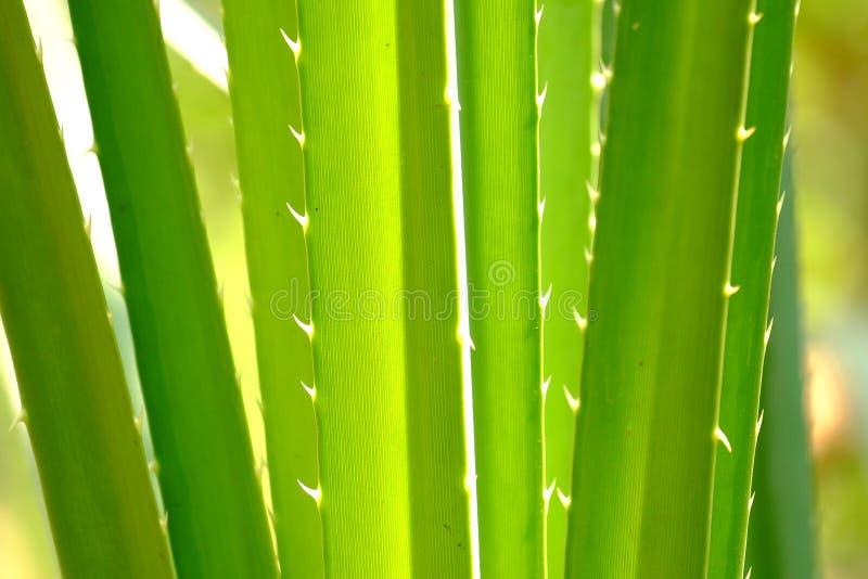 Tropikalni palma liście z cierniami i słońcem zaświecają dla zielonego ulistnienia tła fotografia stock