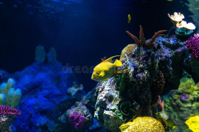 Tropikalni rybi królowej angelfish Holacanthus ciliaris fotografia stock