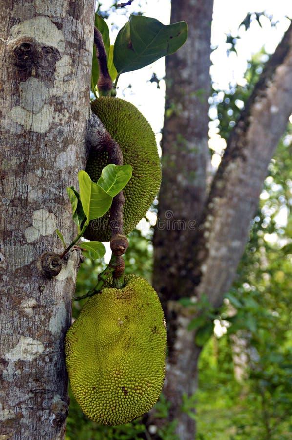 Tropikalny świeży i Zielona chlebowa owoc fotografia royalty free