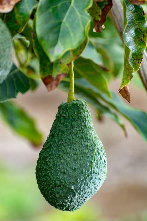 Tropikalny avocado drzewo z dojrzałym zielonym avocado owoc dorośnięciem na plantacji na Gran Canaria wyspie, Hiszpania, przygoto zdjęcie stock