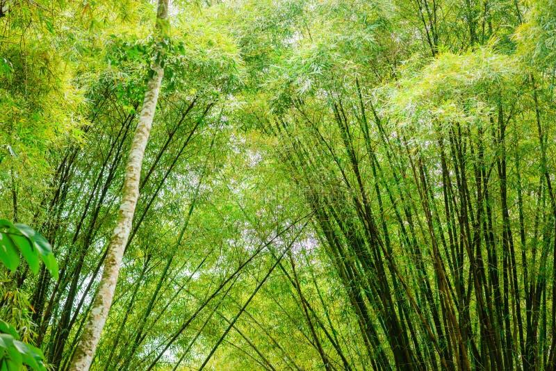 Tropikalny bambusowy las w Trinidad i Tobago zdjęcie royalty free