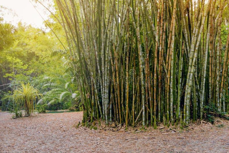 Tropikalny bambusowy las w Trinidad i Tobago obraz stock