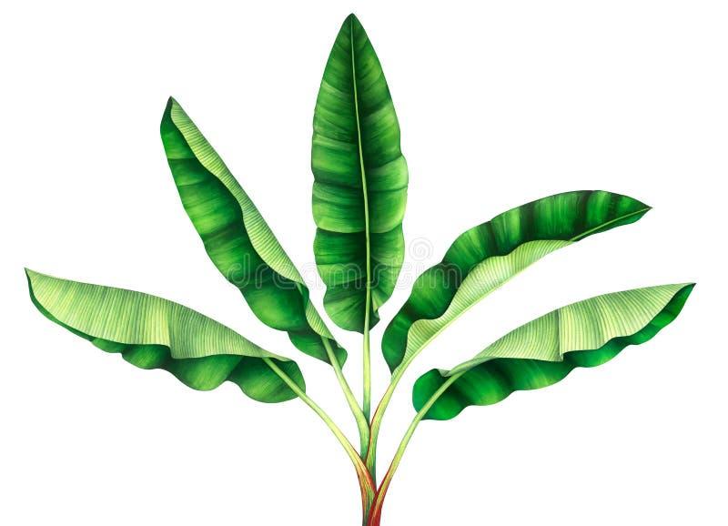 Tropikalny bananowy drzewo beak dekoracyjnego lataj?cego ilustracyjnego wizerunek sw?j papierowa kawa?ka dym?wki akwarela ilustracji