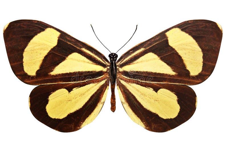 Tropikalny brązu motyl z pięknymi żółtymi lampasami pojedynczy białe tło ilustracji