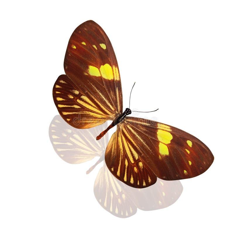 Tropikalny brązu motyl z pięknymi żółtymi lampasami pojedynczy białe tło zdjęcie royalty free