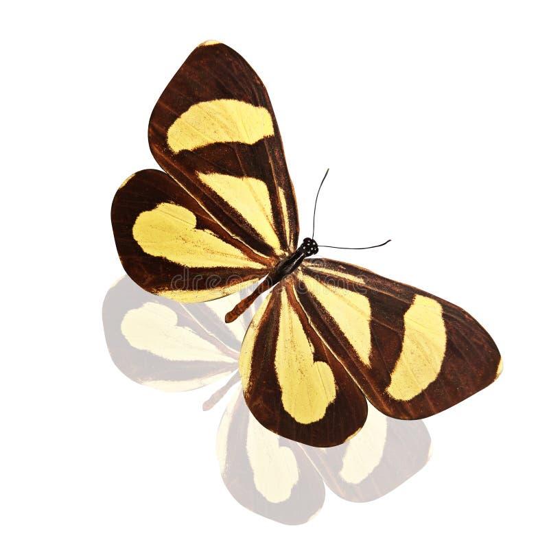 Tropikalny brązu motyl z pięknymi żółtymi lampasami pojedynczy białe tło obrazy royalty free