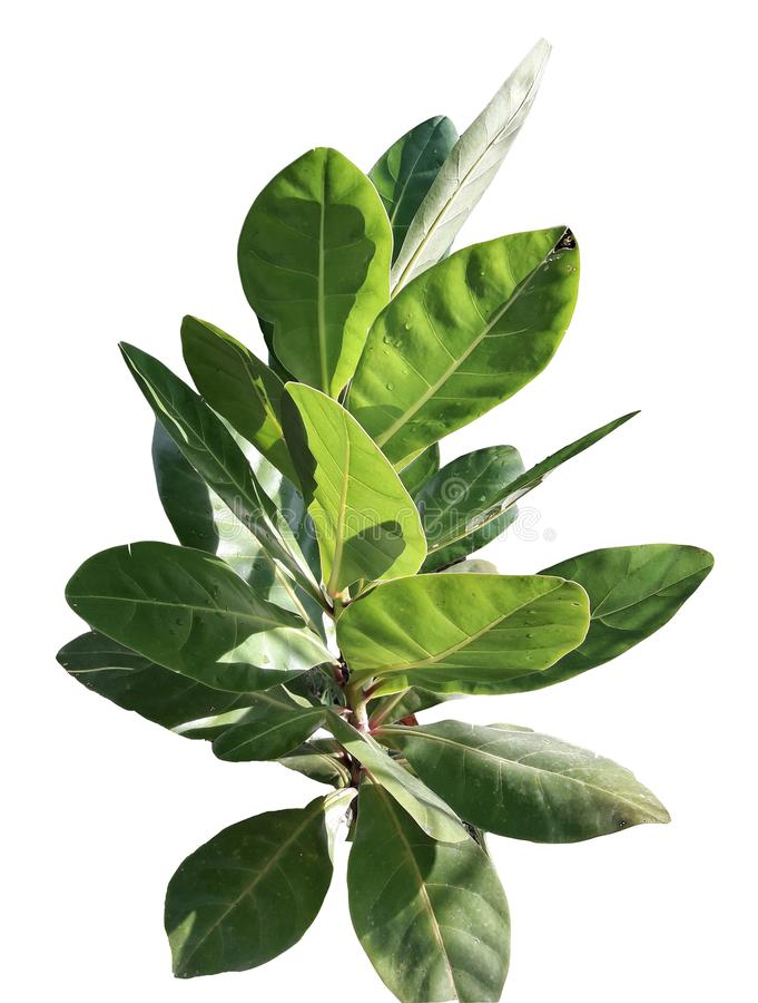 Tropikalny drzewny liść odizolowywający na białym tle dla zielonego ulistnienia tła flora, środowisko ilustracja wektor