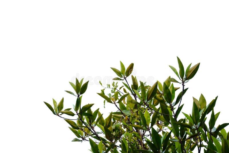 Tropikalny drzewny urlop na białym odosobnionym tle dla zielonego ulistnienia tła fotografia stock