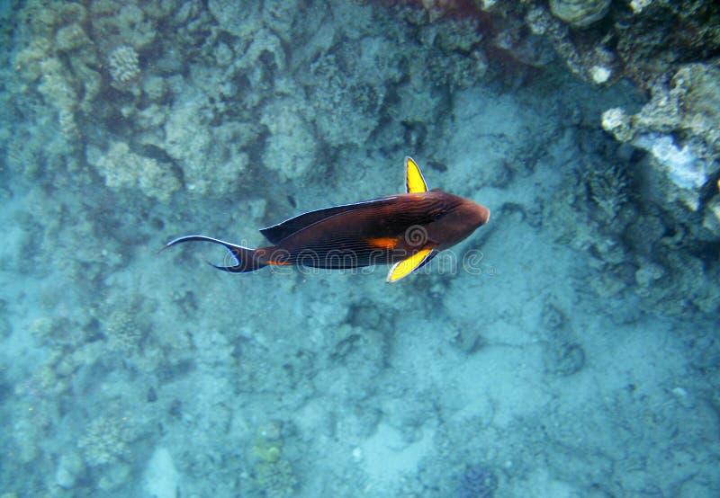 Tropikalny egzot ryba acanthurus podwodny w wodnym Czerwonym morzu zdjęcie royalty free