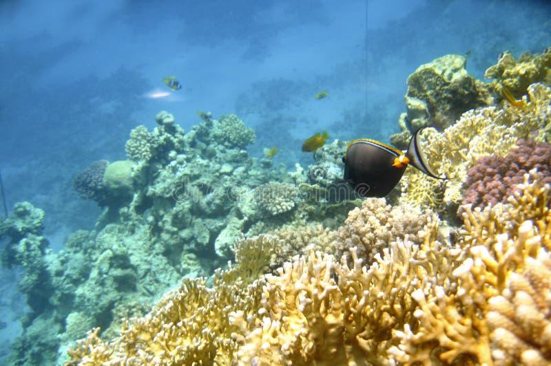Tropikalny egzot ryba acanthurus podwodny w wodnym Czerwonym morzu obraz stock