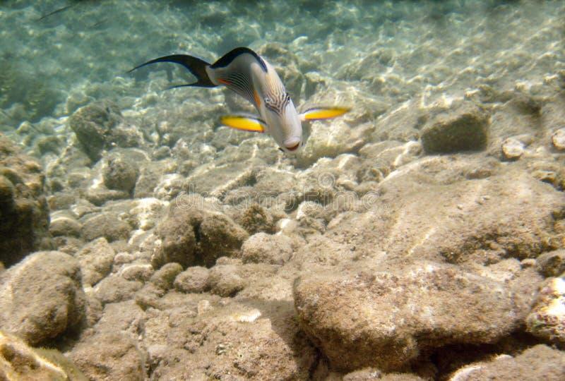 Tropikalny egzot ryba acanthurus podwodny w wodnym Czerwonym morzu fotografia stock