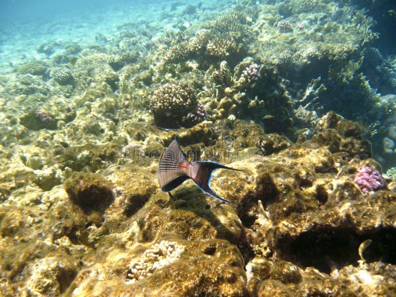 Tropikalny egzot ryba acanthurus podwodny w wodnym Czerwonym morzu zdjęcia stock