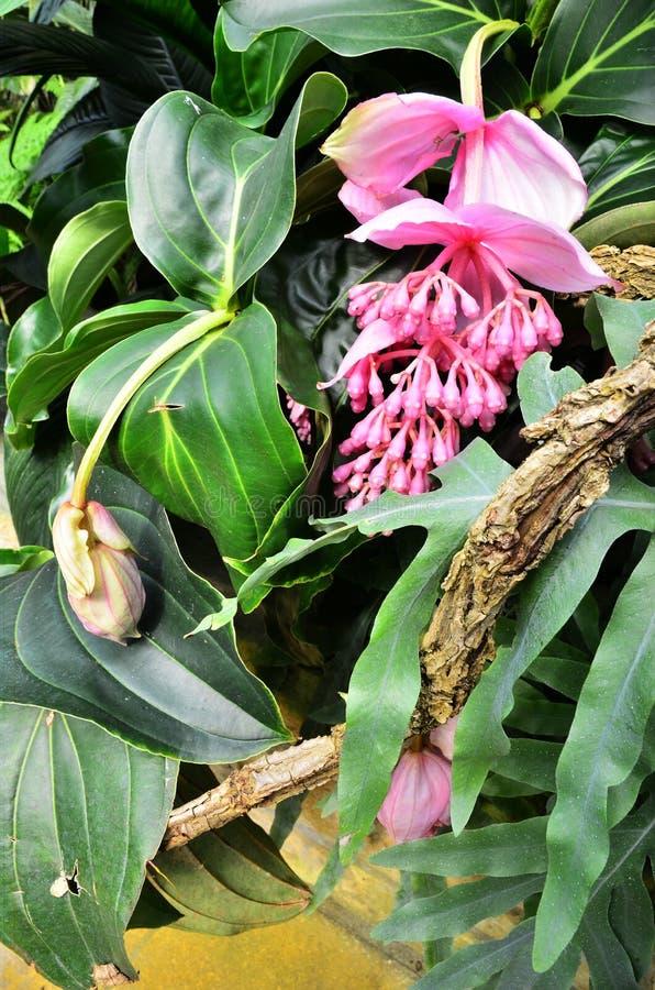 Tropikalny jasnoróżowy kwiat i ulistnienie zdjęcie stock
