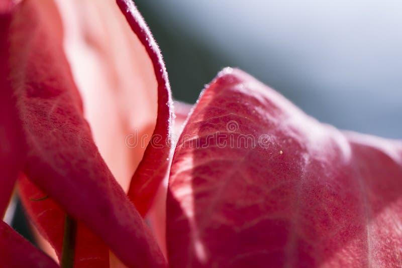 Tropikalny kwiat w pogodnej ogrodowej fotografii Różowy mussaenda na gałąź zdjęcia stock