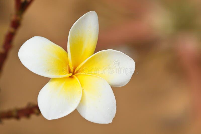 tropikalny kwiatu frangipani zdjęcia stock