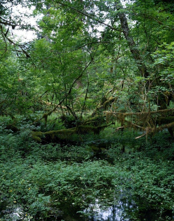 tropikalny las deszczowy Washington obraz royalty free