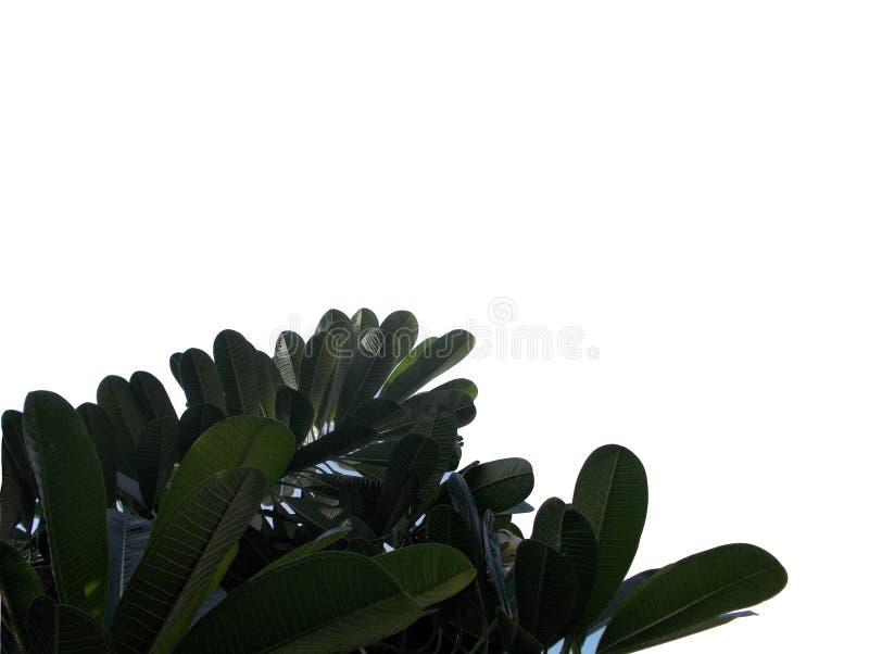 Tropikalny liść z gałąź odizolowywać na białych tło, Odgórnego widoku zieleni ulistnienie dla tła royalty ilustracja