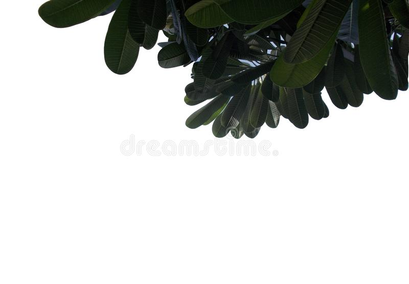 Tropikalny liść z gałąź odizolowywać na białych tło, Odgórnego widoku zieleni ulistnienie dla tła ilustracja wektor