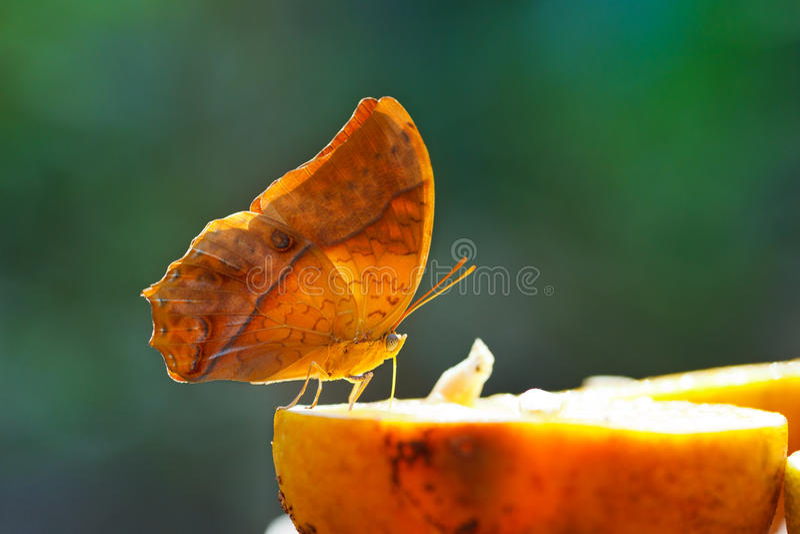 Tropikalny motyl fotografia stock