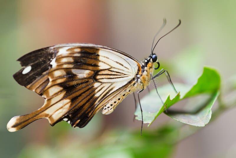 Tropikalny motyl obrazy royalty free