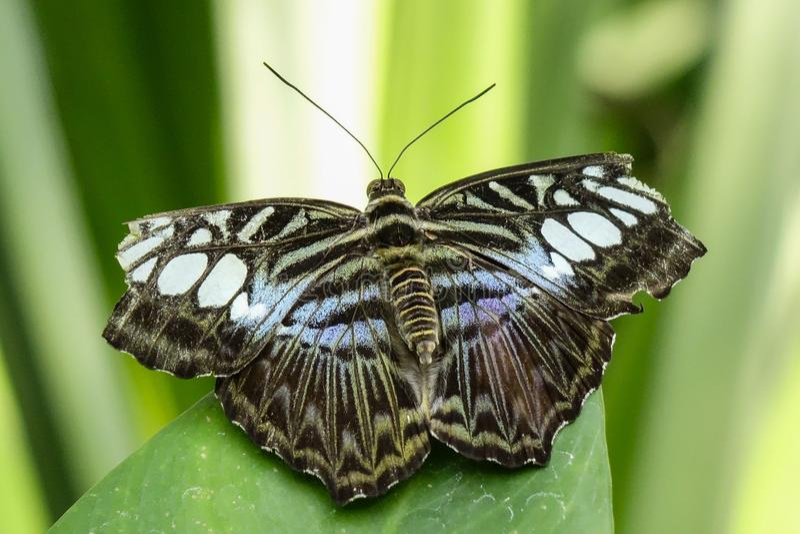 Tropikalny motyl, Błękitny cążki fotografia stock