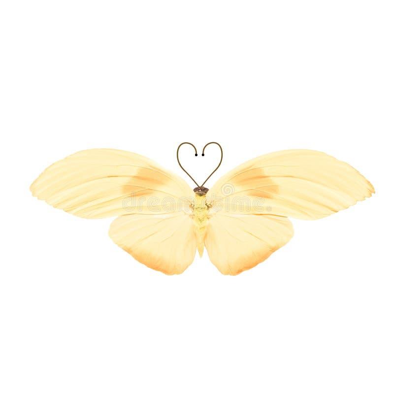 Tropikalny motyl z serce kształtnymi antenami pojedynczy białe tło zdjęcia stock