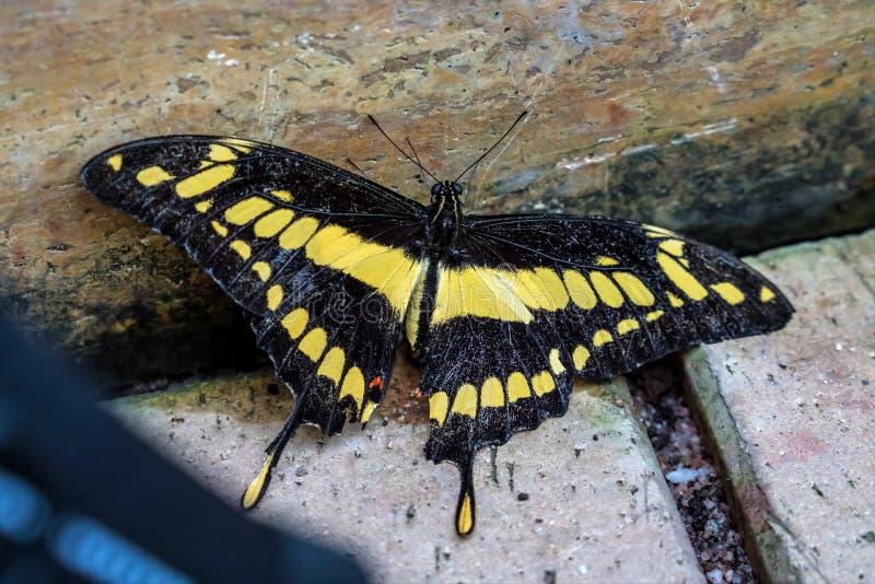 Tropikalny Motyli królewiątko Swallowtail, Papilio thoas lub Thoas swallowtail, obrazy stock