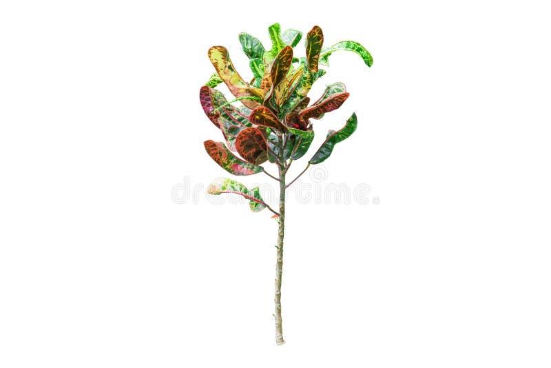 Tropikalny palmowy li?? odizolowywaj?cy na bia?ym tle zdjęcie stock