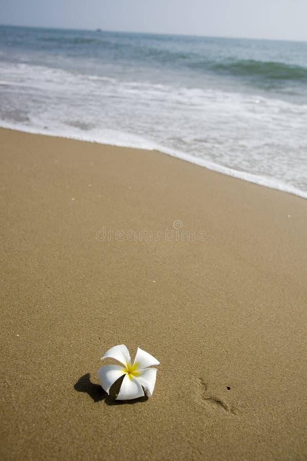 tropikalny plażowy kwiat zdjęcia royalty free