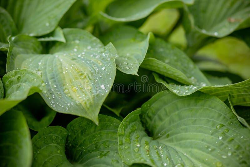 Tropikalny poj?cie, zielony t?o Zasadza gospodarza po tym jak deszcz, krople woda na wielkich li?ciach Selekcyjna ostro?? ekologi fotografia royalty free