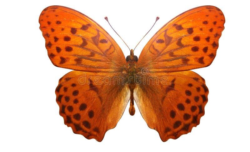 Tropikalny pomarańczowy motyl z pięknym wzorem pojedynczy białe tło ilustracji