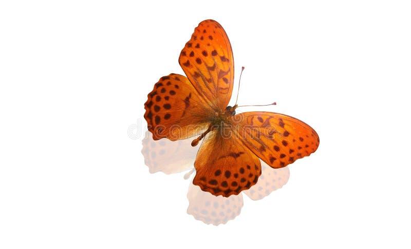Tropikalny pomarańczowy motyl z pięknym wzorem pojedynczy białe tło zdjęcie stock