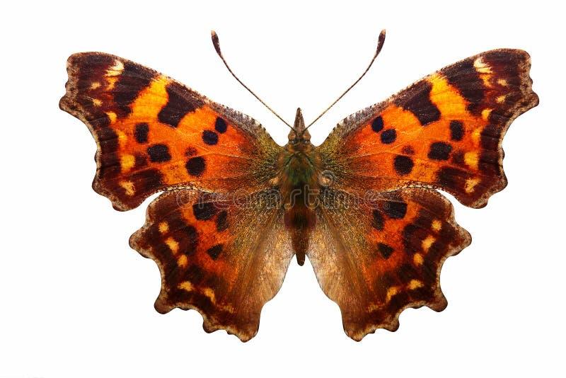 Tropikalny pomarańczowy motyl z pięknymi punktami na skrzydłach pojedynczy białe tło ilustracji