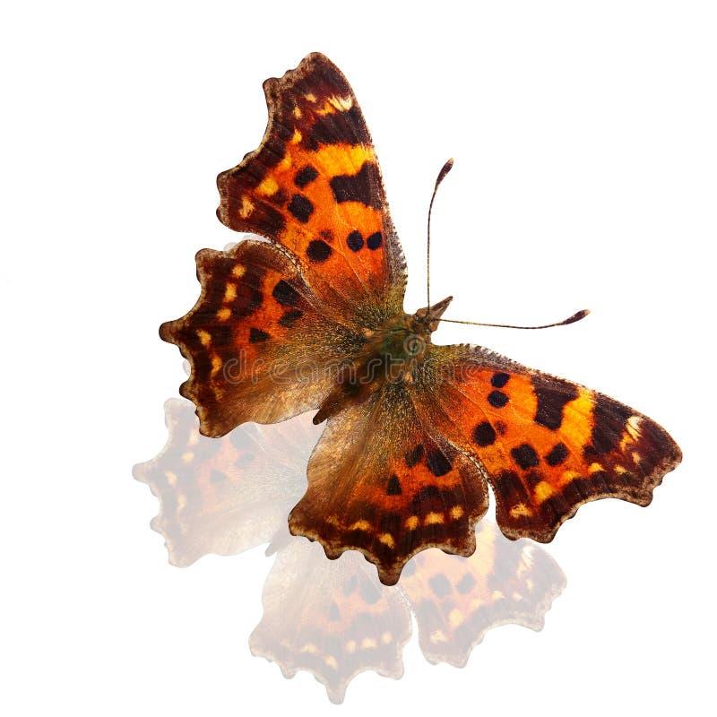 Tropikalny pomarańczowy motyl z pięknymi punktami na skrzydłach pojedynczy białe tło obrazy royalty free