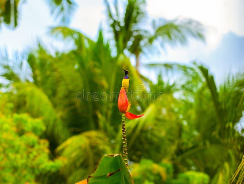 Tropikalny ptak na bananowym kwiacie Plecy sunbird na egzotycznym kwiacie fotografia stock